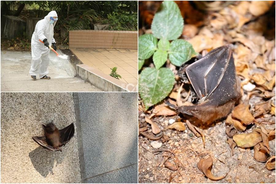 Temuan bangkai kelelawar (foto HK01)