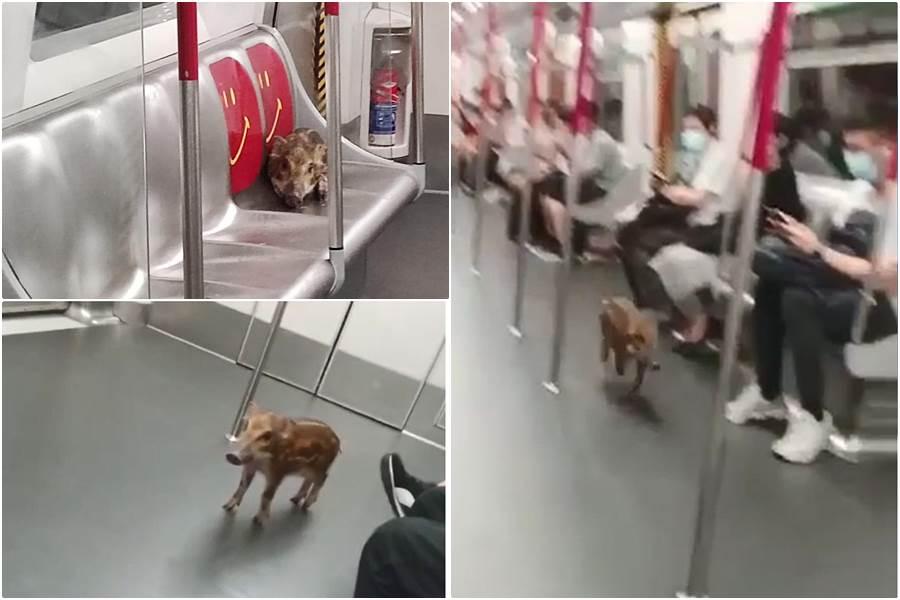 Babi hutan naik MTR (Capture Video from HK01)